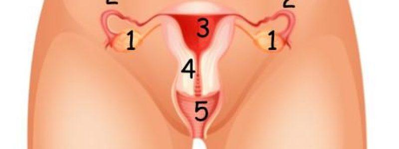 Dibujo de los genitales femeninos