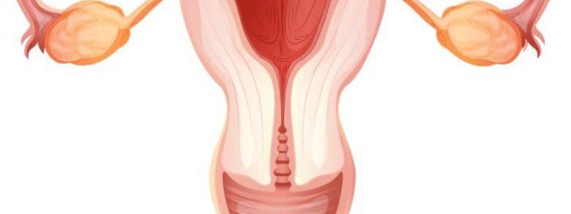 Dibujo del sistema reproductor femenino